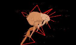 Existen distintos tipos de pulgas con características similares
