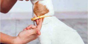 El collar ayuda a prevenir la infestación de las pulgas